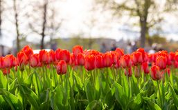 Amazing blooming tulips 11. Amazing blooming tulips in the spring city park. City of Morges, Switzerland Stock Images