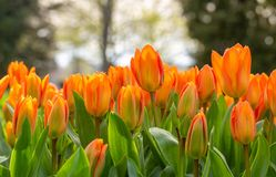 Amazing blooming tulips 12. Amazing blooming tulips in the spring city park. City of Morges, Switzerland Stock Photos