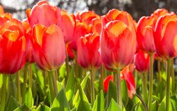 Amazing blooming tulips 1. Amazing blooming tulips in the spring city park. City of Morges, Switzerland Stock Photos