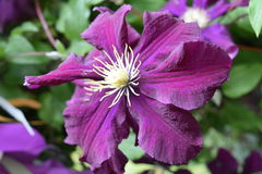 Amazing blossom of a aubergine colored clematis Stock Photography