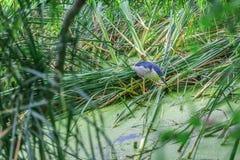 An amazing blue bird Royalty Free Stock Image