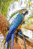 Amazing Blue and Yellow Macaw (Arara parrots) Stock Photography