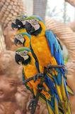 Amazing Blue and Yellow Macaw (Arara parrots).  Royalty Free Stock Photo