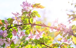 Amazing branch of blossom flowers with pink and red petals on background of blue sky. Easter background with blossom blooming in stock photography