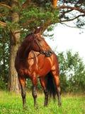 Amazing  breed bay stallion near pine Royalty Free Stock Images