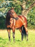 Amazing  breed bay stallion near pine Royalty Free Stock Image
