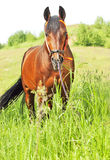 Amazing breed stallion  in summer meadow Stock Images