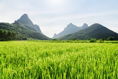 Amazing bright green rice field and scenic karst mountains stock images