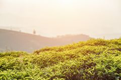 Amazing bright green tea bushes at tea plantation at sunset. Beautiful bright green tea bushes with young upper fresh leaves at tea plantation at sunset. Scenic stock photos