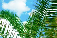 Amazing bright tropical palm tree leaves  at sunshine and blue sky on the background with white clouds. Amazing bright green  tropical palm tree leaves  and blue Royalty Free Stock Image