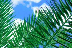 Amazing bright tropical palm tree leaves  at sunshine and blue sky on the background with white clouds. Amazing bright green  tropical palm tree leaves  and blue Stock Image