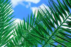 Amazing bright tropical palm tree leaves  at sunshine and blue sky on the background with white clouds. Amazing bright green  tropical palm tree leaves  and blue Royalty Free Stock Photos