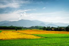 Scenic colorful rice fields at different stages of maturity. Amazing bright green, yellow and orange rice fields at different stages of maturity. Various phases stock images