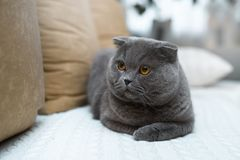 Amazing british cat sitting on the couch, inside. She has gold-colored eyes. stock photos
