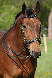 Amazing brown horse with beautiful bridle Royalty Free Stock Photography
