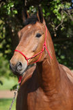 Amazing brown horse with red rope halter Stock Image