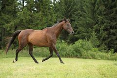 Amazing brown horse running alone Royalty Free Stock Photography