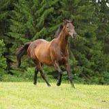 Amazing brown horse running alone Stock Photos