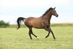 Amazing brown horse running alone Royalty Free Stock Images