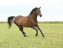 Amazing brown horse running alone Royalty Free Stock Photo