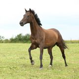 Amazing brown horse running alone