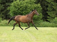 Amazing brown horse running alone Stock Photography