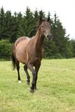 Amazing brown horse running alone Royalty Free Stock Photos