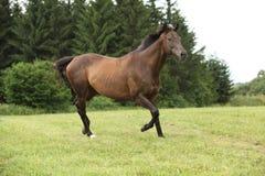 Amazing brown horse running alone Stock Photo