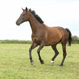 Amazing brown horse running alone Royalty Free Stock Image
