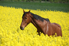 Amazing brown horse running in colza field Stock Image