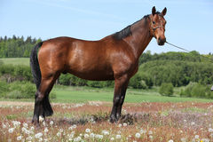 Amazing brown horse standing in nature Royalty Free Stock Photos