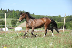 Amazing brown sport pony running on pasturage Stock Photo