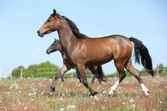 Amazing brown sport pony running on pasturage Stock Photos