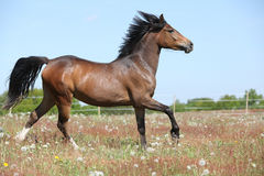 Amazing brown sport pony running on pasturage Royalty Free Stock Photos