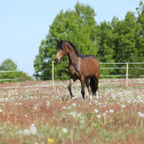 Amazing brown sport pony running on pasturage Royalty Free Stock Photography
