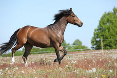 Amazing brown sport pony running on pasturage Royalty Free Stock Photo