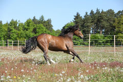 Amazing brown sport pony running on pasturage Royalty Free Stock Image