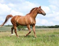 Amazing Budyonny horse running on meadow Stock Image