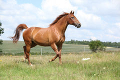 Amazing Budyonny horse running on meadow Stock Photos