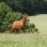 Amazing Budyonny horse running on meadow Stock Image