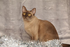 Amazing Burmese cat in front of Christmas decorations Stock Photography