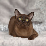 Amazing Burmese cat in front of Christmas decorations Royalty Free Stock Photos