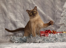 Amazing Burmese cat in front of Christmas decorations Stock Images