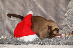 Amazing Burmese cat in front of Christmas decorations Royalty Free Stock Images