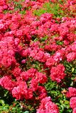 Amazing bush of wild pink roses with green leaves taken in the springtime. Rose, one of the most popular flowers. Is a woody perennial flowering plant of the stock images