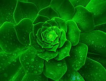 Amazing Cabbage flower after rain, Israel Royalty Free Stock Photo