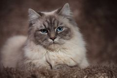 Amazing cat with blue eyes lying on a furry background. In studio Stock Photo