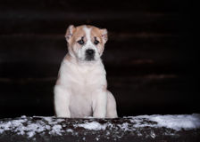 Amazing Central Asian Shepherd puppy Royalty Free Stock Photos