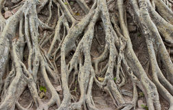 Amazing Chaos Tree Roots Royalty Free Stock Photos