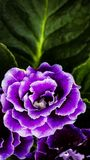 Amazing and charming. Amazing color of the flower Royalty Free Stock Image
